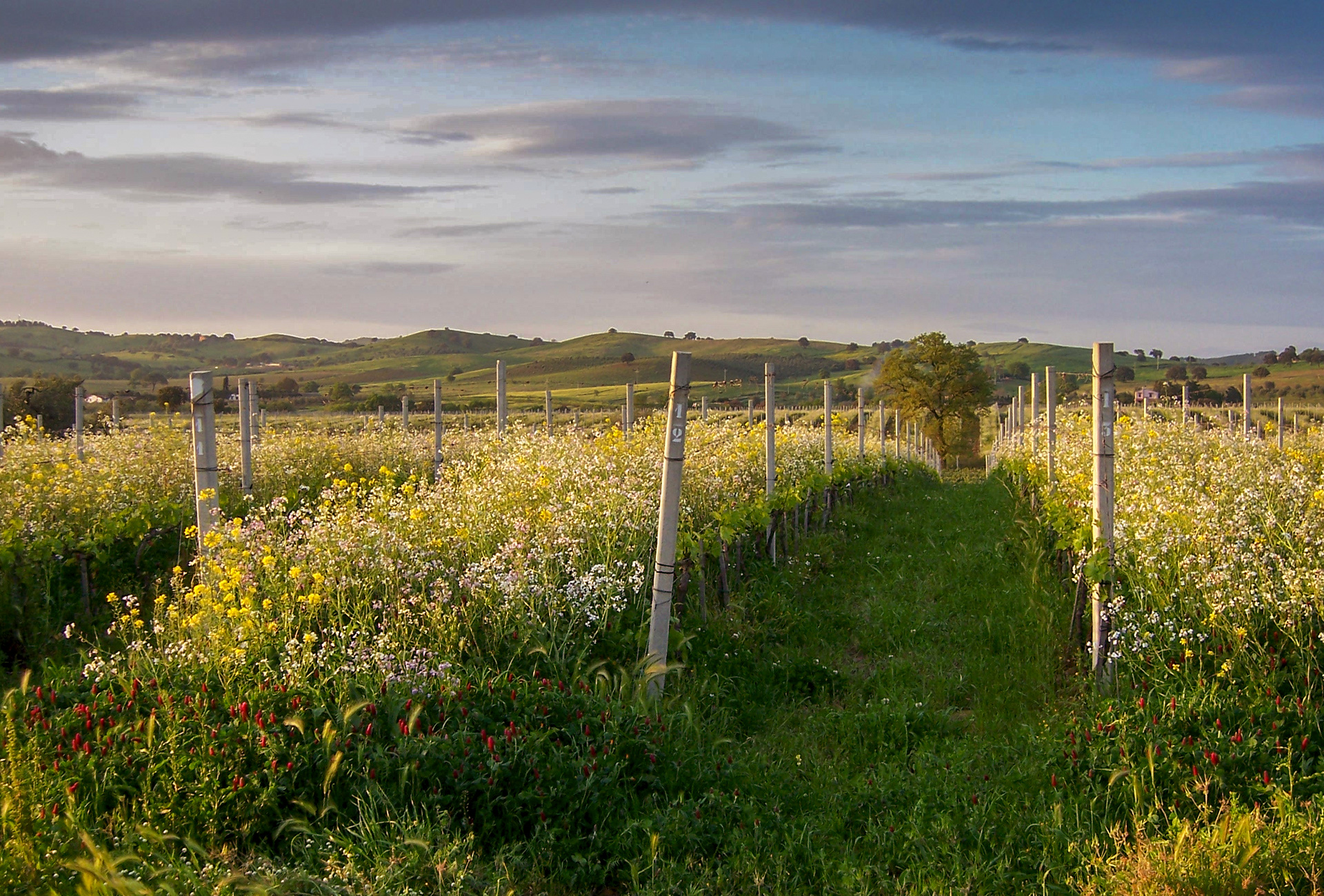 Querciabella Alberese Vineyards