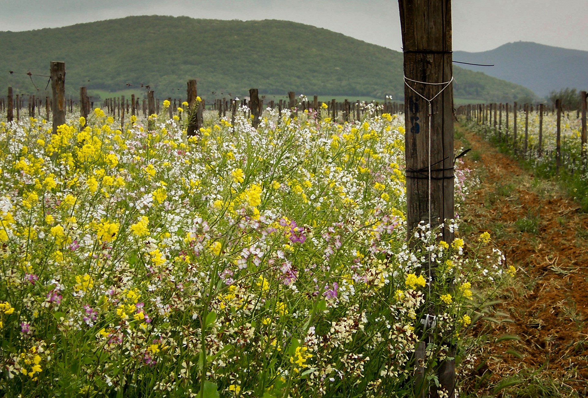 Cover crops blooming